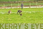 Shandrum Bar and Ronan Man give chase on the hare at the Ballyheigue Coursing on Sunday............... ............................................................   Copyright Kerry's Eye 2008