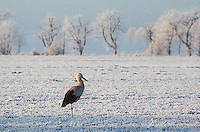 A rare site of a White Stork (Ciconia ciconia)in the winter in Germany they normally migrate to warmer countries like Africa before the winter. A large bird in the stork  family Ciconiidae. Its plumage is mainly white, with black on its wings. Adults have long red legs and long pointed red beaks, and measure on average 100&ndash;115&nbsp;cm (39&ndash;45&nbsp;in) from beak tip to end of tail, with a 155&ndash;215&nbsp;cm (61&ndash;85&nbsp;in) wingspan.<br />