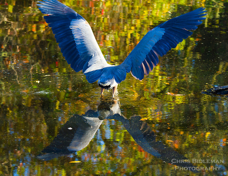 A great blue heron is seen dipping into a pond while opening his wings.  The reflection of the wings is seen in the water at the Ridgefield National Wildlife Refuge.