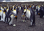 King penguins with eggs