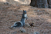 GRAY SQUIRREL WORKING ON A PINECONE