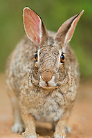 673280038 porarait of a wild desert cottontail rabbit sylilagus audubonii in the rio grande valley texas united states