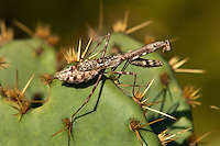 362430006 a wild carolina mantid stagnomantis carolina perches on an opuntia succulent pad in southeast regional park austin travis county texas united states