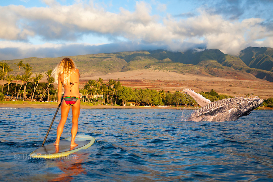 Breaching Humpback whale, Megaptera novaeangliae, and surf instructor Tara Angioletti on a stand-up paddle board off Canoe Bearch, Maui. Hawaii.  Image is model released.