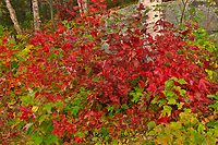 Forest shrubs in autumn at George Lake<br />Killarney Provincial Park<br />Ontario<br />Canada