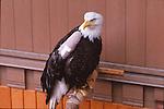 Bald eagle at Alaska Bald Eagle Rehab Center