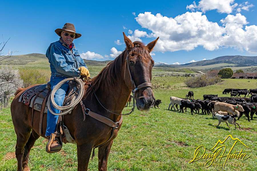 An eighty-five year old cowboy still punching cows in Blackfoot Idaho.<br />