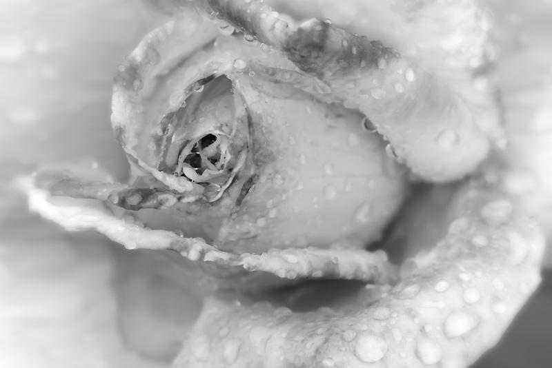 Close up of Helen Naude Rose after rain fall. Heirloom Gardens, St. Paul, Oregon.