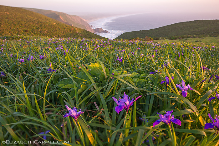 Wild Iris, Point Reyes I