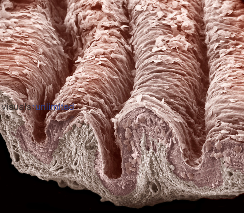 Cross-section of the mammal vagina stratified squamous epithelium and the underlying lamina propria. The vagina is kept moist from various glandular secretions but the wall itself lacks glands. SEM X90.  **On Page Credit Required**