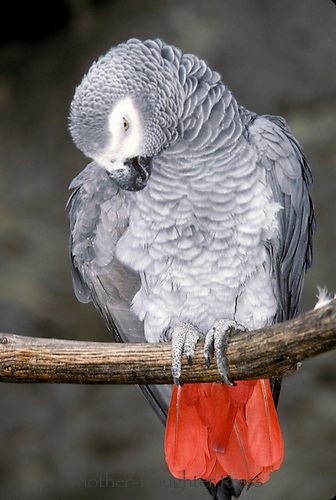 African Gray Parrot preening feathers