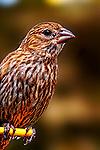 Bird - Backyard Sparrow, Wild Birds of Newport Beach, CA. Photo by Alan Mahood.
