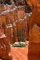 Lone pine tree among the hoodoos of Bryce Canyon National Park. Utah, Bryce Canyon National Park.