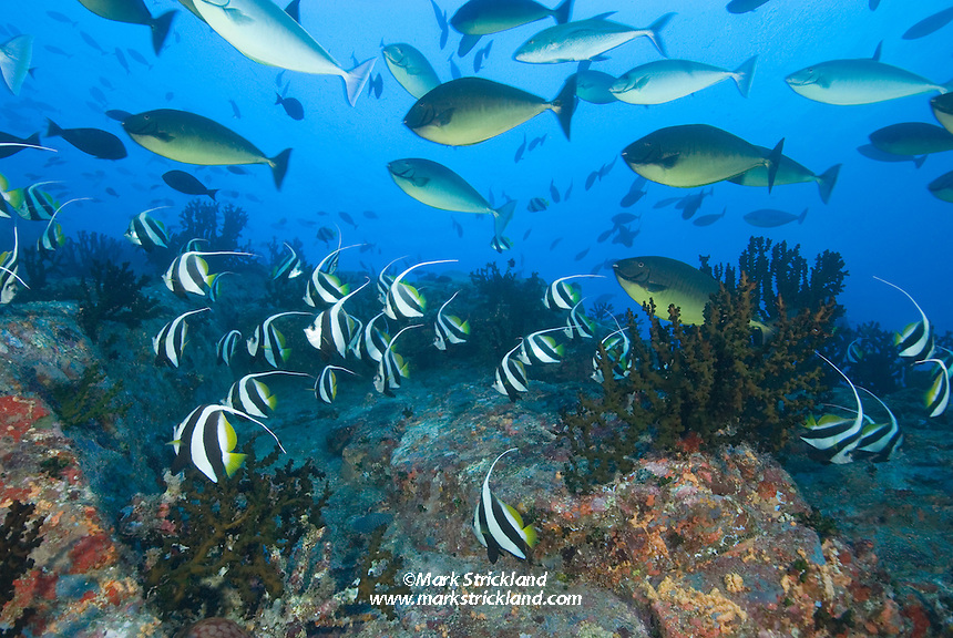 Dense schools of Schooling Bannerfish, Heniochus diphreutes, and Gray Unicornfish, Naso caesius, gather on the steep slopes of Fish Rock, Passage Island, Andaman Islands, Andaman Sea; India