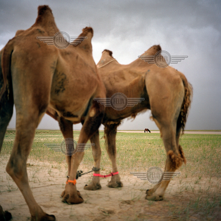 Yann Mingard's caravan - two camels and a horse. Walking 850 km in 34 days, they followed in the footsteps of explorers Ella Maillart and Peter Fleming, who travelled part of the Silk Road through Eastern Turkestan in 1935.