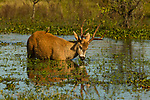 Marsh Deer (Blastocerus dichotomus) buck feeding on aquatic plants in marsh with Cattle Tyrant (Machetornis rixosa) on back, Ibera Provincial Reserve, Ibera Wetlands, Argentina