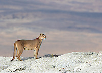 A female puma pauses along a lake shore in southern Chile.