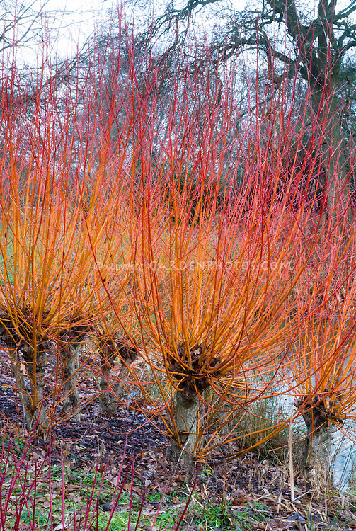Salix alba var. vitellina Yelverton in red gold winter stems