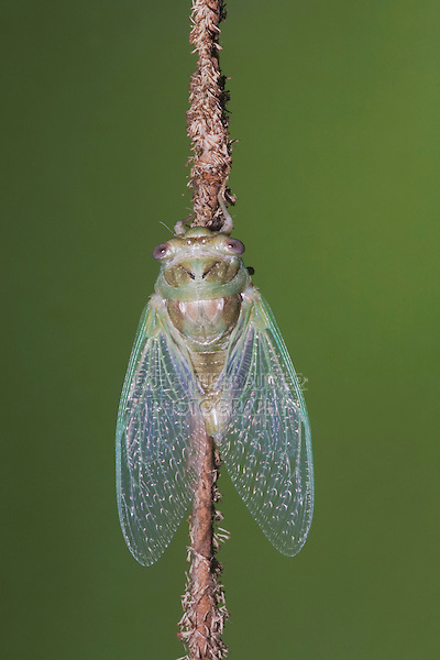 Cicada (Tibicen resh), newly emerged adult, Sinton, Corpus Christi, Coastal Bend, Texas, USA