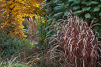 Entry through Hornbeam hedge (Carpinus betulus) past garden border with ornamental grass (Miscanthus) in fall color and Hydrangea aspera in Gary Ratway garden