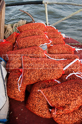 Traditionally air cooled shrimp sits on the deck in traditionally sized 'peck' bags.  Despite working solidly for 12 hours the amount of money a haul can earn is not guaranteed.