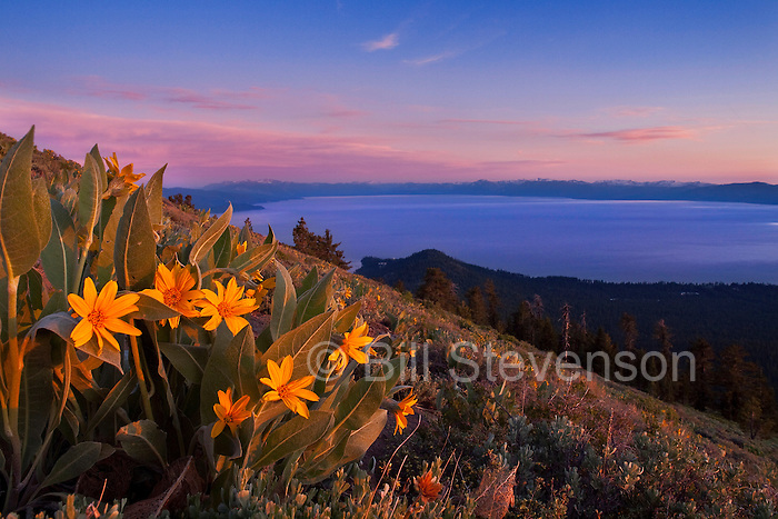A picture of sunset and yellow Mules Ears flowers above Lake Tahoe in California