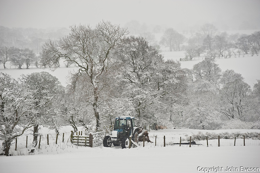Feeding sheep in the snow, Whitewell, Lancashire.