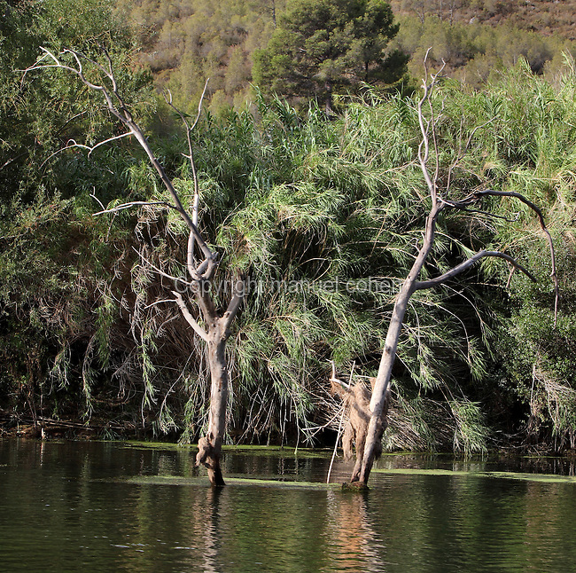 Flooded trees on the banks of the Ebro river, Tarragona, Spain. In this region the river is near the end of its course, passing through gorges and mountainous scenery before flowing out through the Ebro Delta into the Mediterranean Sea. Picture by Manuel Cohen