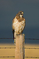 Swainson's Hawk, Buteo swainsoni, adult calling on fence post after rainstorm, Rocksprings, Wyoming, September 2005