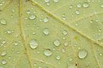 Raindrops on autumn leaf, fall, Eno River State Park, North Carolina