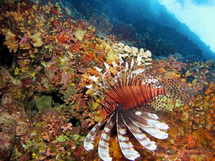 Orchid Island (蘭嶼), Taiwan -- Common Lionfish at Jichang Waijiao (機場外礁)