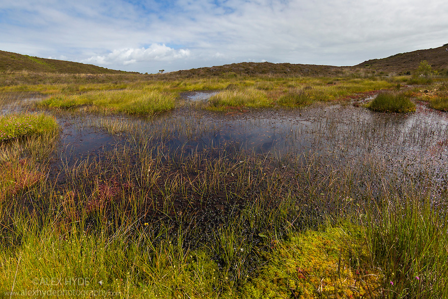 Heathland pool surrounded by sphagnum moss. Godlingston Heath National Nature Reserve, Dorset, UK. August.