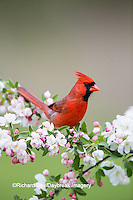 01530-21701 Northern Cardinal (Cardinalis cardinalis) male in Crabapple tree (Malus sp.) in spring Marion Co. IL