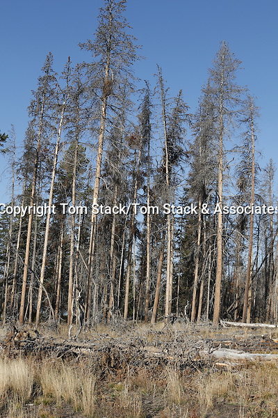 Dead trees, Yellowstone National Park