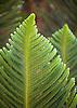 A Cook Pine tree on the grounds of the Ritz-Carlton, Kapalua, on Maui, Hawaii. Photo by Kevin J. Miyazaki/Redux