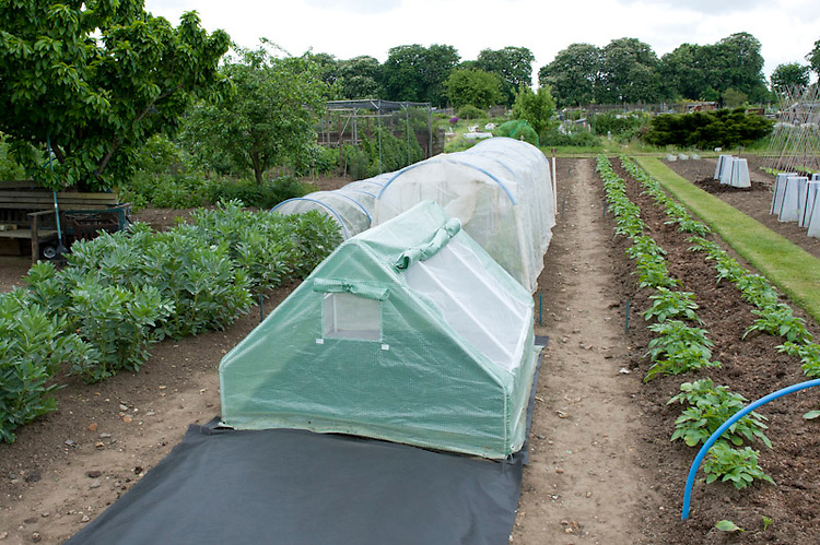 "Planting melons 3 of 5. Large polythene ""polytents"", which are like small polytunnels, offer more space for growing melons than traditional cold frames. Cover the area of manured ground that will form the base of the polytent with plastic sheet mulch."