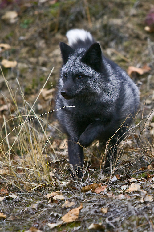 Silver Fox walking through the fall leaf litter - CA