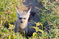 Bat-eared fox, Serengeti National Park, Tanzania, East Africa