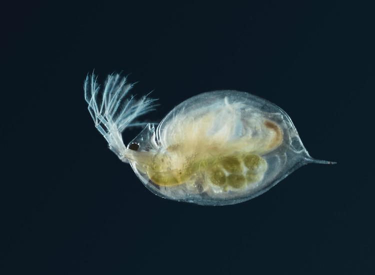 Water Flea - Daphnia