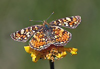 California Crescent (Phyciodes orseis ssp. herlani) female. Though not yet officially classified as threatened or endangered, this species is relatively rare and is the focus of particular concern. Butterfly Valley Botanical Area. Plumas National Forest. Near Quincy, Plumas Co., Calif.