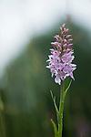 Common spotted orchid, Dactylorhiza fuchsii. Wakehurst Place - Royal Botanic Gardens, Kew. Ardingly, West Sussex, UK.