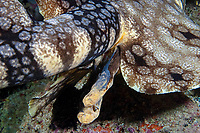 Two small sea snails can be seen clinging to one of the two claspers on this tasselled wobbegong, Eucrossorhinus dasypogon, Indonesia,