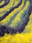 Mustards fields in Napa Valley in California.