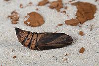 Mittlerer Weinschwärmer, Puppe, Deilephila elpenor, Elephant Hawk-moth, Elephant Hawkmoth, pupa, pupae, Le Grand sphinx de la vigne, Schwärmer, Sphingidae, hawkmoths, hawk moths, sphinx moths