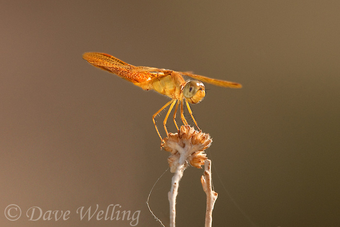 304570001 a wild mexican amberwing dragonfly perithemis intesa perches on a dead flower near el centro imperail county california united states