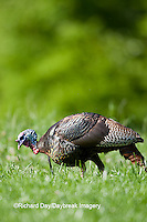 00845-07006 Eastern Wild Turkey (Meleagris gallopavo) jake in field, Holmes Co., MS