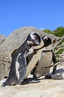 Spheniscus demersus, Brillenpinguine, African penguins or Jackass penguin or black-footed penguins, Suedafrica, Simons Town, False Bay, Boulders Beach, South Africa