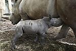 Foto: VidiPhoto<br /> <br /> ARNHEM &ndash; In Burgers Zoo in is donderdag een breedlipneushoorn geboren. Het is een vrouwtje dat de naam Naomi heeft gekregen. Moeder Kwanzaa is ervaren en heeft eerder al vijf jongen succesvol grootgebracht in het Arnhemse dierenpark. Burgers&rsquo; Zoo neemt met enkele andere Europese dierenparken nadrukkelijk het voortouw qua breedlipneushoornfok: de afgelopen achttien jaar kwamen maar liefst acht jongen ter wereld, waarvan &eacute;&eacute;n dier vorig dood ter wereld kwam. In 2016 werden in alle Europese dierenparken met breedlipneushoorns in totaal slechts zestien geboortes geregistreerd. In 2017 stokte de Europese teller op elf geboortes in totaal van deze Afrikaanse neushoornsoort. V&oacute;&oacute;r 2016 kwamen de afgelopen vijf jaar jaarlijks gemiddeld slechts zo&rsquo;n acht tot tien breedlipneushoorns in heel Europa ter wereld. Breedlipneushoorns zijn van de vijf nog levende neushoornsoorten het meest sociaal. In Burgers&rsquo; Zoo leven zes breedlipneushoorns op een uitgestrekte Oost-Afrikaanse savannevlakte.