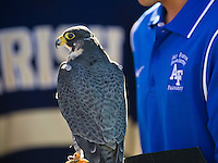 Oblio, a peregrine falcon, sits on the glove of his handler.