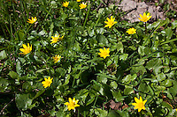 Scharbockskraut, Scharbocks-Kraut,  Frühlings-Scharbockkraut, Ranunculus ficaria, Ficaria verna, Lesser Celandine, Pilewort, Ficaire